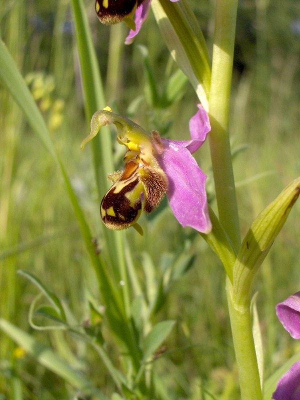 Ophrys apifera Gilles DEZECOT